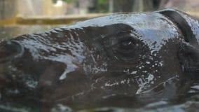 Il movimento lento dell'ippopotamo pigmeo prende un bagno nell'acqua del lago ad un giorno in zoo video d archivio