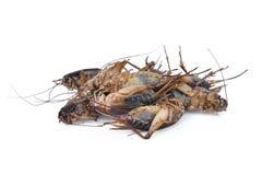 Il mucchio degli insetti tropicali di gryllus morto del cricket isoalted Immagine Stock