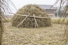 Il mucchio dello strumento di legno asciutto del locale e della paglia di riso splende su prima del processo per il grano del ris Fotografie Stock Libere da Diritti
