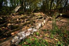 Il mucchio di collega la foresta di autunno fotografie stock