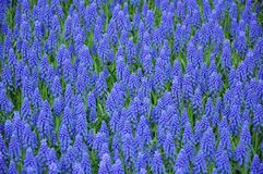 Il muscari blu fiorisce il fondo Fotografie Stock