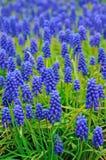 Il Muscari fiorisce il prato Immagini Stock Libere da Diritti