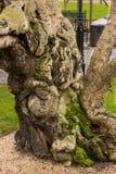 Il muschio coperto, tronco antico di un albero vicino alla costruzione britannica del Parlamento Fotografia Stock