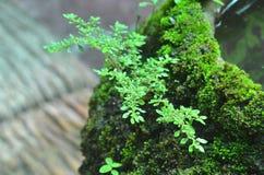 Il muschio cresce sul barattolo Fotografia Stock Libera da Diritti