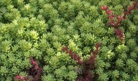 Il muschio di fioritura, sassifraga, piante, coperte, copertura al suolo Priorità bassa di struttura Immagini Stock Libere da Diritti