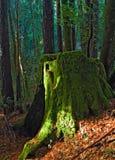 Il muschio gigante dell'albero del redwood coperto batte i piedi fotografia stock libera da diritti