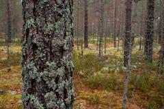 Il muschio nella foresta nordica il tronco del pino è invaso con muschio fotografie stock