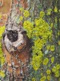 Il muschio sull'albero Fotografia Stock Libera da Diritti