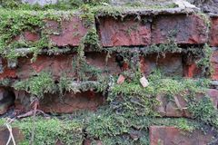 Il muschio verde si è sviluppato su un mattone bagnato Vecchia muratura Muro di mattoni Mattone rosso del silicato Mattone di sbr fotografia stock libera da diritti