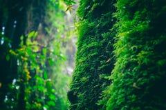 Il muschio verde sull'albero in Ang Ka Luang Nature Trail è un sentiero didattico educativo dentro una foresta pluviale sul picco immagini stock