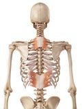 Il muscolo di serratus posteriore illustrazione di stock