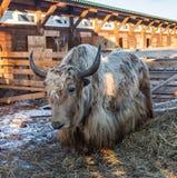 Il mutus selvaggio del Bos dei yak di altai, Altai, Russia immagine stock libera da diritti