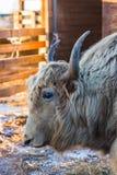 Il mutus selvaggio del Bos dei yak di altai, Altai, Russia fotografia stock libera da diritti