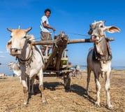 Il MYANMAR - 7 dicembre 2014: Un bufalo d'acqua di due bianchi fotografie stock