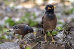 Il myna comune, myna indiano, è un membro degli storni e dei mynas dello Sturnidae della famiglia indigeni in Asia fotografia stock libera da diritti