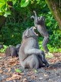 Il n'est pas toujours être facile roi Macaque crêté de Sulawesi de mâle alpha images libres de droits