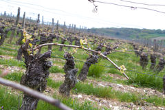il napa di caduta rema il colore giallo delle vigne della vite Fotografia Stock Libera da Diritti