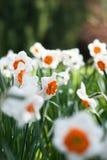 Il narciso arancio fiorisce il primo piano all'interno di un fondo verde del campo Immagini Stock