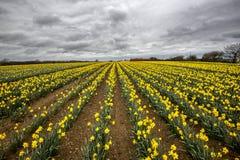 Il narciso sistema nel conrwall, Regno Unito, con il cielo lunatico nuvoloso Fotografie Stock Libere da Diritti