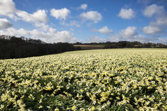 Il narciso sistema nella primavera, Cornovaglia, Regno Unito Immagini Stock Libere da Diritti