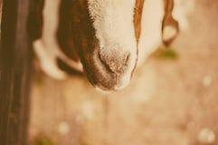Il naso della capra del primo piano Immagini Stock Libere da Diritti
