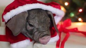 Il Natale e le decorazioni del nuovo anno con il maiale neonato sveglio in costume di Santa Claus in regalo presentano la scatola stock footage