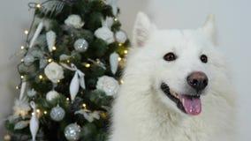 Il Natale insegue con la bocca aperta su fondo dell'albero di abete decorato stock footage