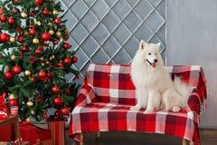 Il Natale insegue il samoiedo in studio Immagini Stock Libere da Diritti