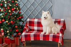 Il Natale insegue il samoiedo in studio Fotografie Stock Libere da Diritti