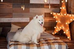 Il Natale insegue il samoiedo in studio Fotografia Stock Libera da Diritti
