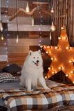 Il Natale insegue il samoiedo in studio Fotografia Stock