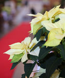 Il Natale star con le foglie bianche nella chiesa Fotografia Stock Libera da Diritti