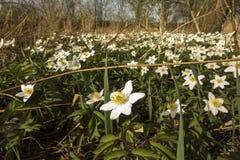 Il nemorosa dell'anemone è fiori in anticipo della molla Fotografia Stock