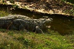 Il Nepal, parco nazionale di Chitwan Alligatore immagini stock