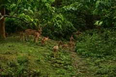 Il Nepal, parco nazionale di Chitwan Gregge dei cervi fotografia stock