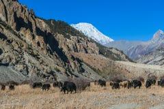 Il Nepal - yak che guardano fisso sul prato immagine stock libera da diritti