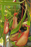 Il Nepenthes è piante tropicali. Fotografie Stock Libere da Diritti