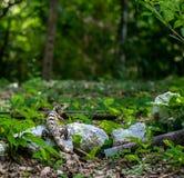 Il nero adolescente spiney-ha munito i similis di coda di Ctenosaura dell'iguana in fotografie stock