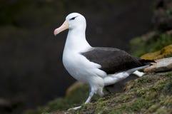 il nero adulto dell'albatro browed Fotografie Stock