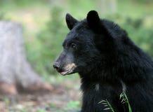 il nero americano dell'orso Fotografia Stock Libera da Diritti
