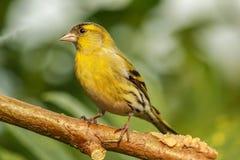 Il nero americano e giallo di Chordata del cardellino appollaiati su un albero b immagini stock