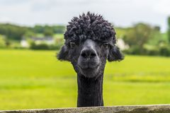 Il nero amichevole ha colorato l'alpaga nella foresta di Charnwood Immagine Stock