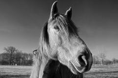Il nero & bianco del cavallo Immagini Stock Libere da Diritti