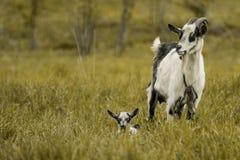 Il nero bianco del pascolo dell'erba verde del bambino della capra Fotografia Stock