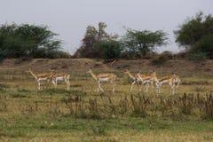 Il nero Buck Sanctuary di Medha a Ahmedabad, India Fotografia Stock Libera da Diritti