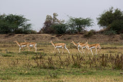 Il nero Buck Sanctuary di Medha a Ahmedabad, India Immagini Stock