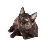 Il nero curioso e Tan Domestic Longhair Kitten Laying Fotografie Stock