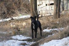 Il nero del cane Fotografie Stock Libere da Diritti