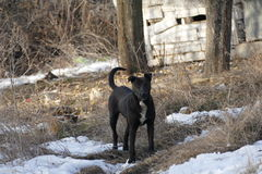 Il nero del cane Fotografia Stock Libera da Diritti