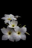 Il nero del fondo dei fiori bianchi la sera a Surat Tailandia fotografie stock libere da diritti
